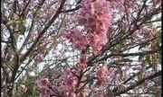 Festa das cerejeiras começa nesta sexta-feira em Garça
