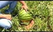 Estamos no período de colheita da melancia na região