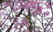 Festa das Cerejeiras será realizada neste fim de semana em Nova Friburgo, no RJ