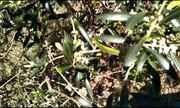 Confira as imagens da florada das oliveiras nos Campos Gerais