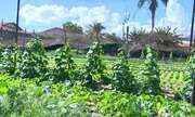 Problemas afetam produção de folhosas no Triângulo Mineiro