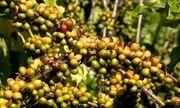 Produção de conilon cai por falta de chuva e cafeicultores se preocupam, ES