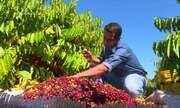 Parte 2: Tem colheita de café clonal em Vilhena
