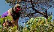 Produção de hortaliças em Caucaia utiliza defensivos naturais