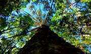 Umas das árvores mais antigas do planeta está ameaçada