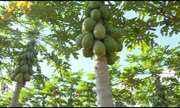 Pesquisadores e produtores do ES desenvolvem sementes de mamão formosa