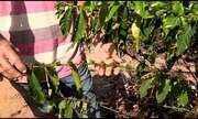 Período de seca no Noroeste do ES faz produção cair em propriedades rurais