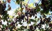 Colheita da uva começa oficialmente com expectativa de produção menor