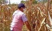 Em Pentecoste, agricultores colhem o milho já seco
