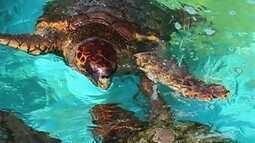 Nossa Terra: Projeto Tamar, com sede na Barra da Lagoa, preserva as tartarugas marinhas