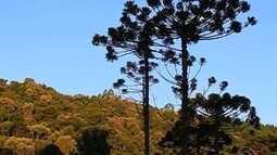 Iniciativa se dedica para preservar a Araucária, árvore símbolo de SC