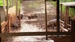 Polícia descobre criação de porcos perto de nascente de córrego, em Goiânia