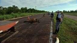 Motoristas devem se atentar para animais na pista