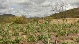 Em Aratuba, agricultores perdem até 100% da safra devido à falta de chuva
