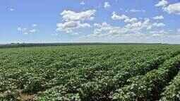 Aumenta o monitoramento nas lavouras de algodão