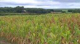 Lavouras de milho sofrem com a seca