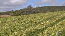 Geada no Alto Tietê prejudica plantações de alface, coentro e manjericão