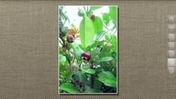 Agrônomo identifica fruto parecido com a cereja