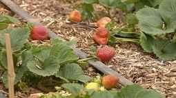 A produção de morango está atrasada este ano