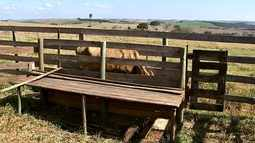 Criador inova e inventa balança para pesar gado