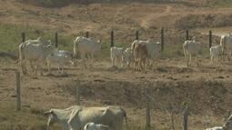 Falta de chuvas afeta criações de gado e peixes no Acre, alertam produtores rurais