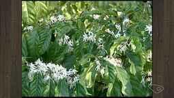Seca no ES atrapalha florada do café conilon em produções rurais