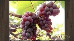 Produtores de uva de Santa Teresa têm boa produção durante ano inteiro, no ES