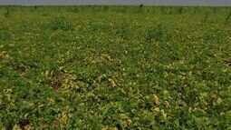 Mosca branca causa prejuízos nas lavouras de feijão e ameaça a soja em MT