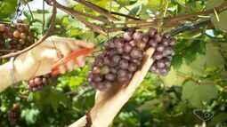 Produtor faz rodízio de poda e colhe uva o ano todo em Alfredo Chaves no ES