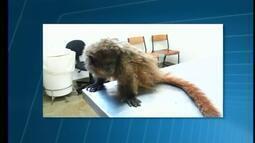 Macaco é submetido a eutanásia após ser achado ferido em Uberaba