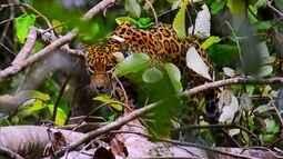 Onças vivem em árvores durante o período de inundação na Amazônia