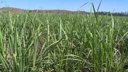 Agricultores dobram produção de cana-de-açúcar no Sul do Espírito Santo