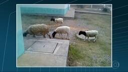 Cabras e ovelhas deixam sujeira em unidade do Degase em Campos