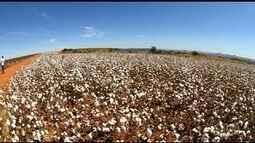 Simpósio discute investimentos na plantação de algodão, em Rio Verde, GO