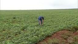 Produtores da região de Amambai estão preocupados com falta de chuva
