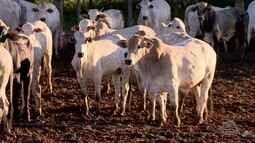 O preço da arroba do boi não está agrdando os pecuaristas