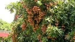A colheita de lichia este ano esta sendo de boa qualidade da fruta