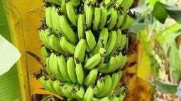 Produtores de banana do Triângulo Mineiro sofrem com a falta do produto