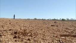 Estiagem no Norte de Minas provoca queda do rebanho bovino
