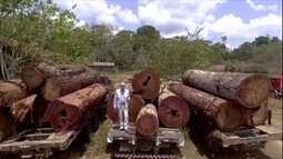 Ipês de madeira nobre estão sempre na mira dos madeireiros ilegais
