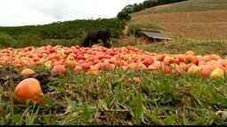 Com baixo preço de comercialização, produtores descartam toneladas de tomate, no ES