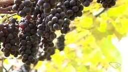 Agroindústria aposta em beneficiamento da safra da uva em Vargem Alta, no ES