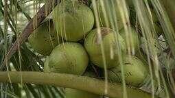 Produção de coco tem previsão de crescimento no Espírito Santo
