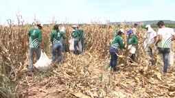 Aprendizes rurais colhem milho em fazenda modelo, no oeste baiano