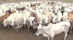 Índios Ingarikó, em Uiramutã, recebem rebanho bovino para geração de renda