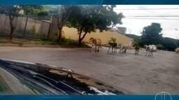 Animais soltos pelas ruas de Montes Claros preocupam moradores