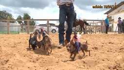 Pinchers viram cadelinhas de rodeio