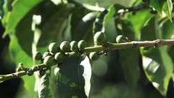 Café sofre aumento no preço em Vitória da Conquista por causa da falta de chuva