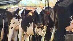 Doença de gado pode ser prevenida com vacinação