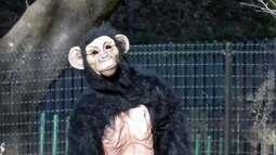 Chimpanzé é a estrela de um treinamento contra terremotos